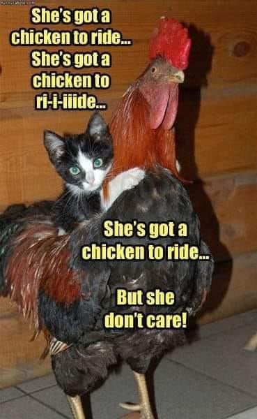 Name:  Chicken_To_ride.jpg Views: 39 Size:  37.7 KB